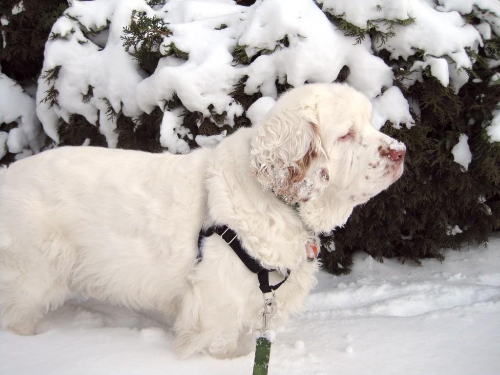 Archie_Clumber_Spaniel_snow3
